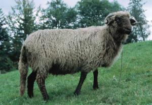 Le mouton RDV